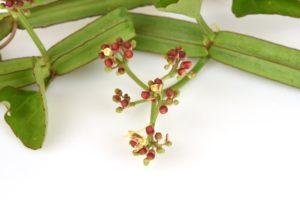 Cissus Quadrangularis Blüte und Rebe