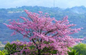 blühender Lapacho Baum