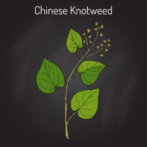 Fo-Ti Pflanze auf dunklem Grund