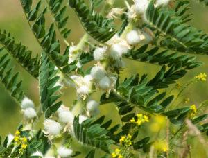 Astragalus Pflanze