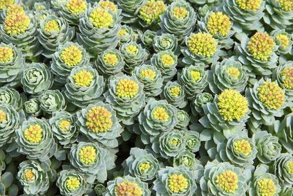 Rhodiola rosea Pflanzen