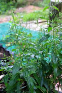 Andrographis paniculata Pflanze