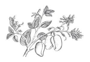 Griffonia Simplicifolia auf weissem Grund