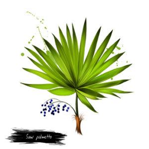 Saw palmetto Baum mit Beeren auf weissem Grund