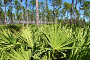 Sägepalmen im Wald aus denen Sägepalmenextrakt gewonnen wird