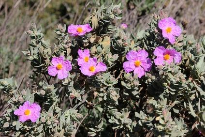 Cistus Pflanze in der Natur
