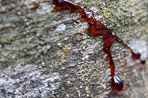 Sangre-de-Drago auf Baumrinde