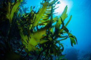 Kelp im Meer