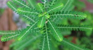 Chanca Piedra Pflanze