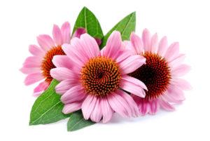 Echinacea Blume auf weissem Hintergrund