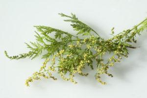 injaehriger beifuss, Artemisia annua auf weissem Hintergrund
