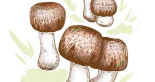 Agaricus blazei murill illustration auf weissem Grund