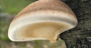 Birkenporling an Baum