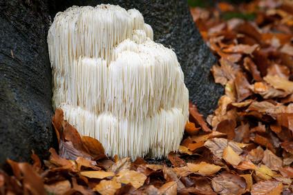 Hericium an einem Baum in der Natur