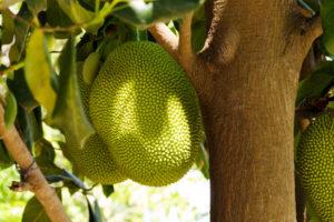 ackfrucht wächst direkt am Stamm des Jackfruchtbaumes