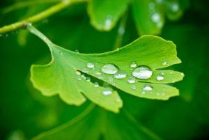 Ginkgo biloba Blatt mit Wasser tropfen