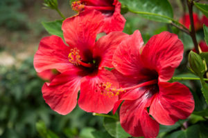 Rote Hibiskusblume auf einem Grün verwischte Hintergrund