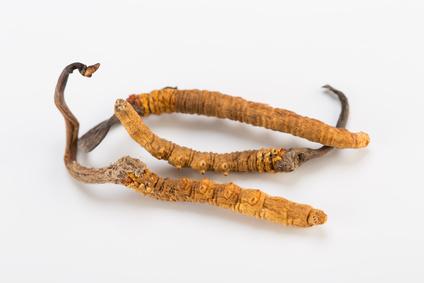 Cordyceps Pilz vor weissem Hintergrund