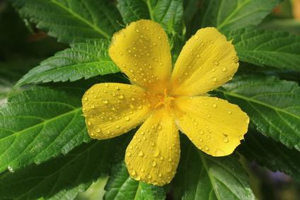 Damiana Blüte und Blätter